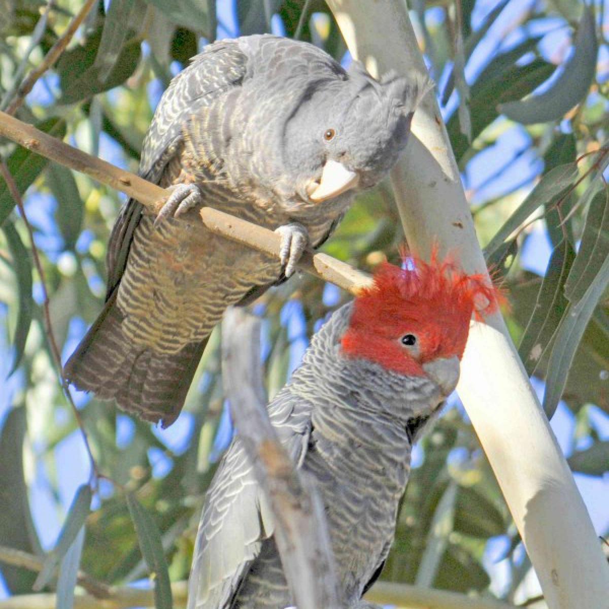 442 Gang-gang Cockatoo