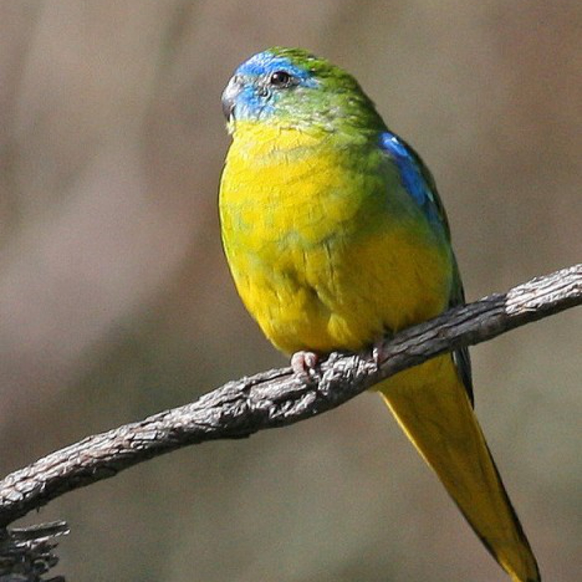 836 Turquoise Parrot