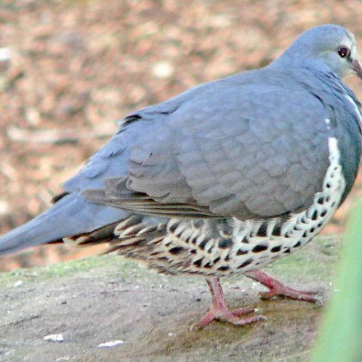427 Wonga Pigeon