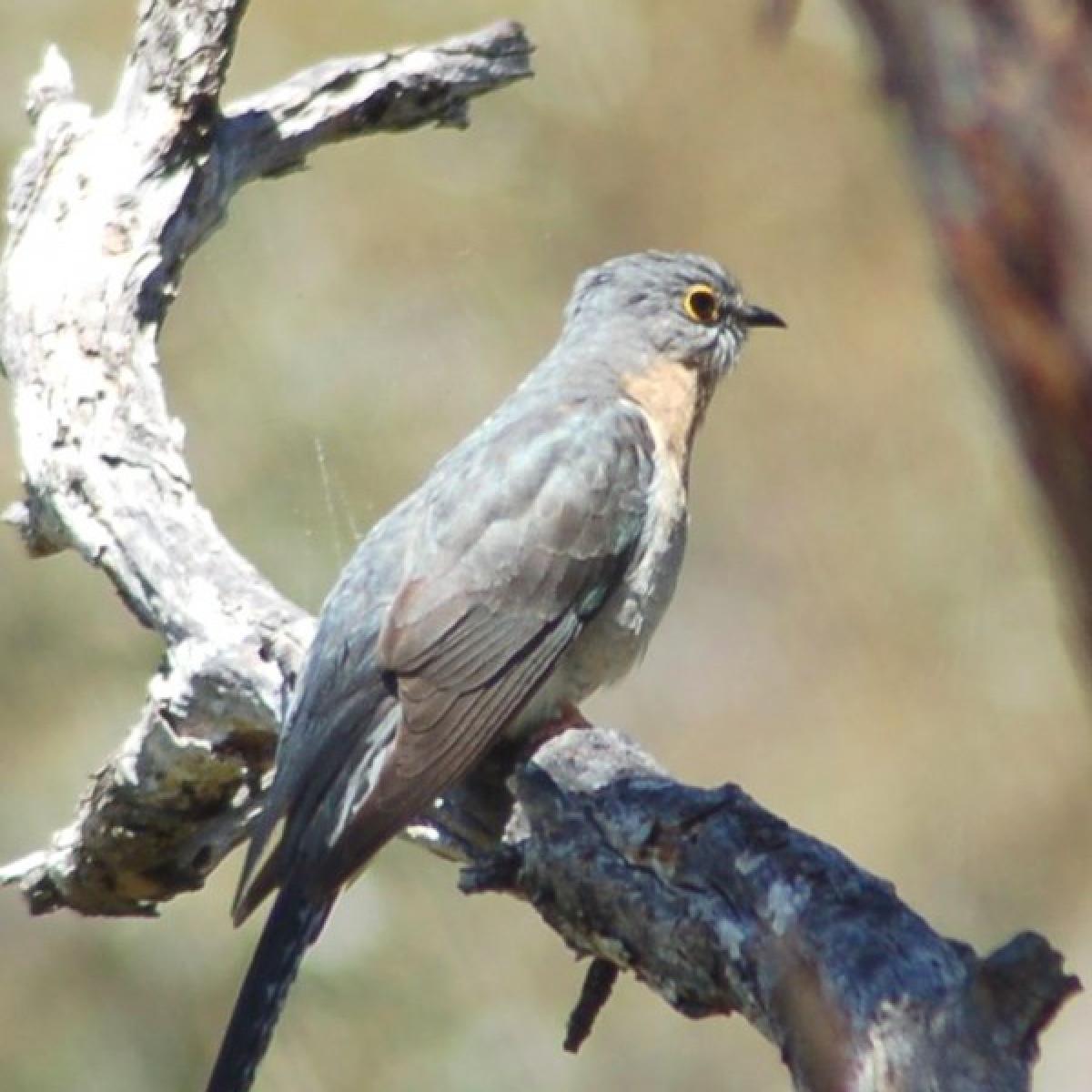 483 Fan-tailed Cuckoo