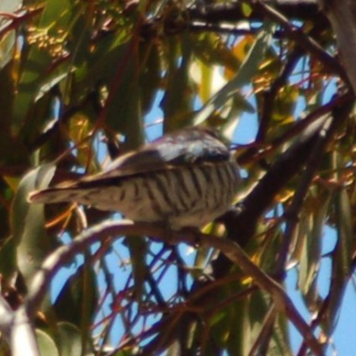 484 Horsfield's Bronze-cuckoo