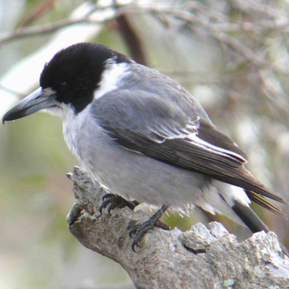 804 Grey Butcherbird