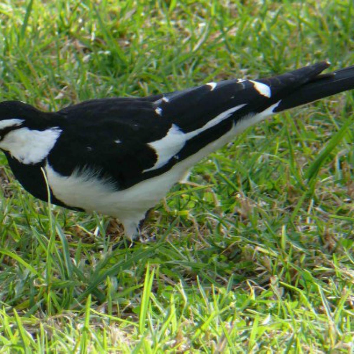 802 Australian Magpie-lark or Peewee