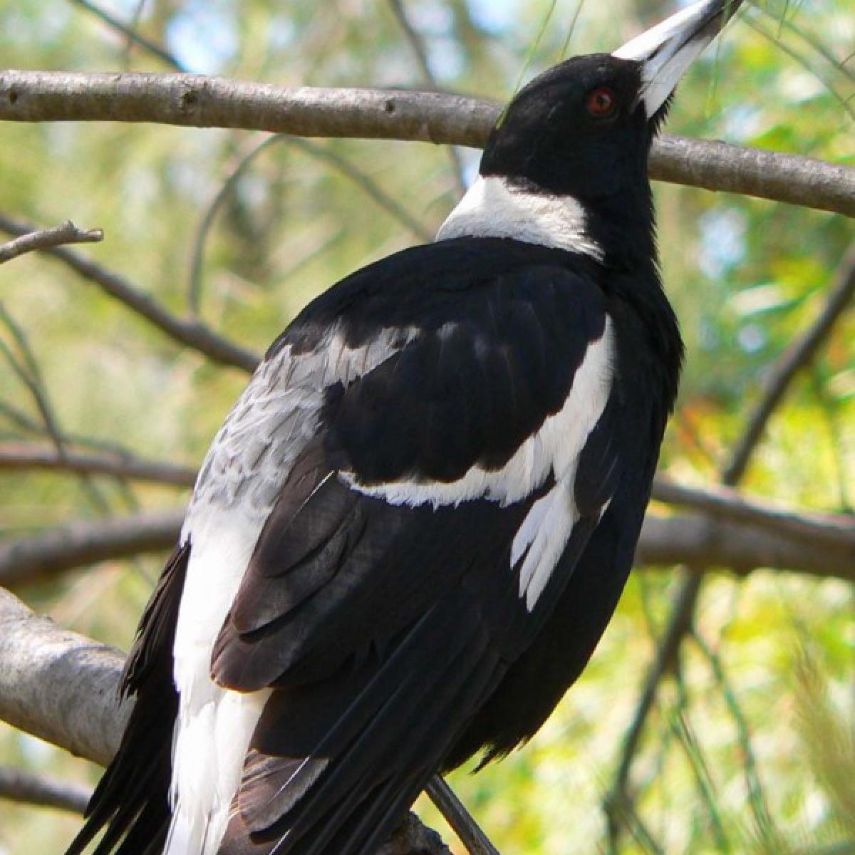 803 Australian Magpie