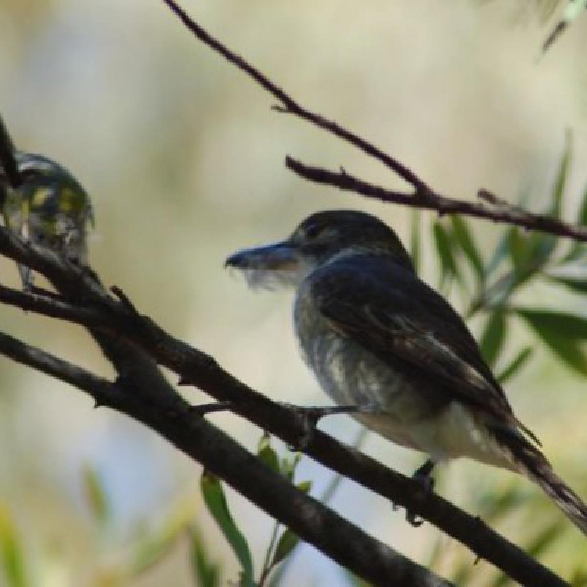 804 Grey Butcherbird (young)