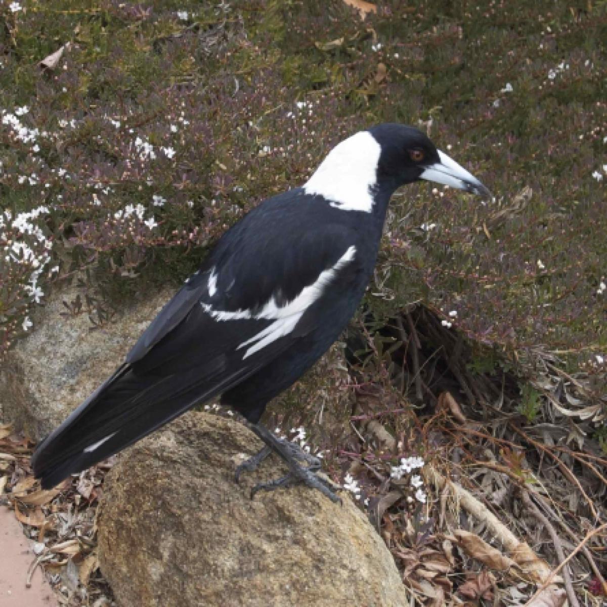 803 Australian Magpie (blackbacked)