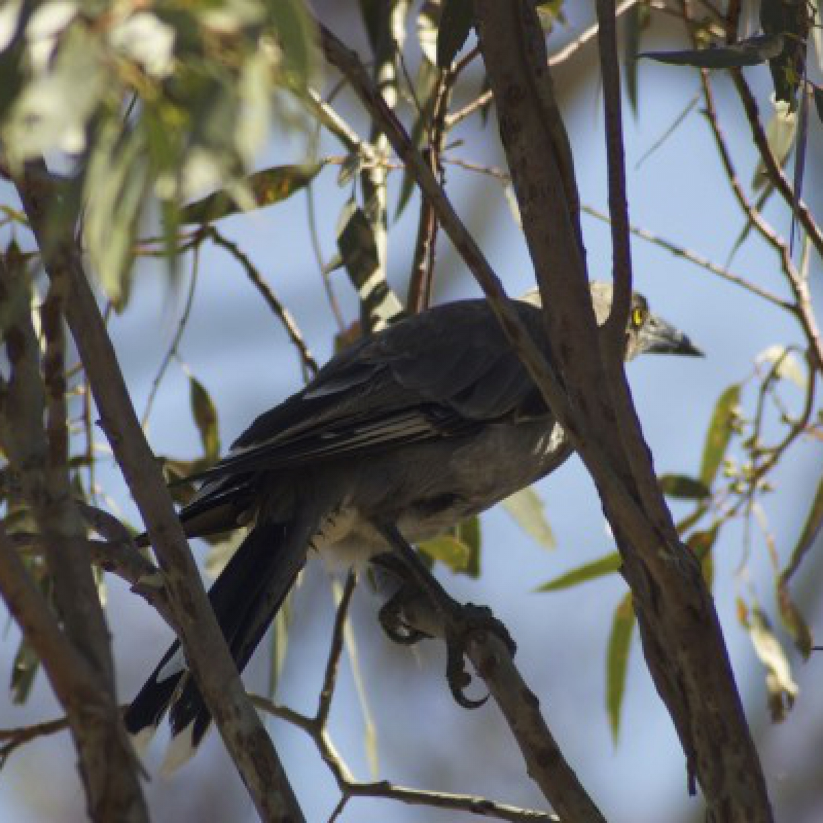 806 Grey Currawong
