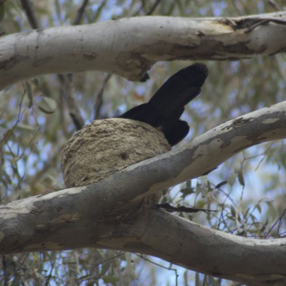 801 White-winged Chough on nest
