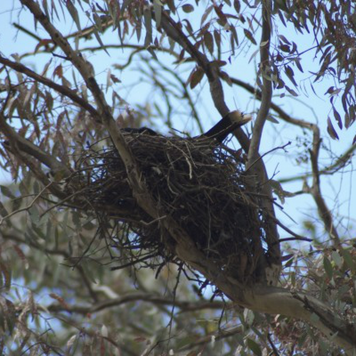 805 Pied Currawong on nest