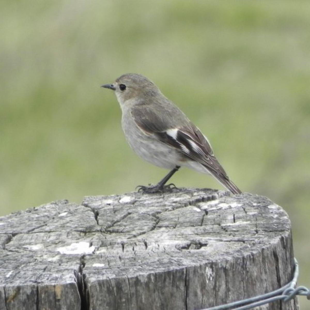 583 Flame Robin (female)