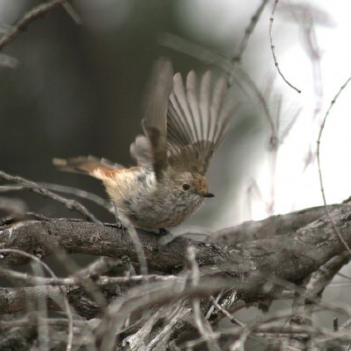 681 Brown Thornbill