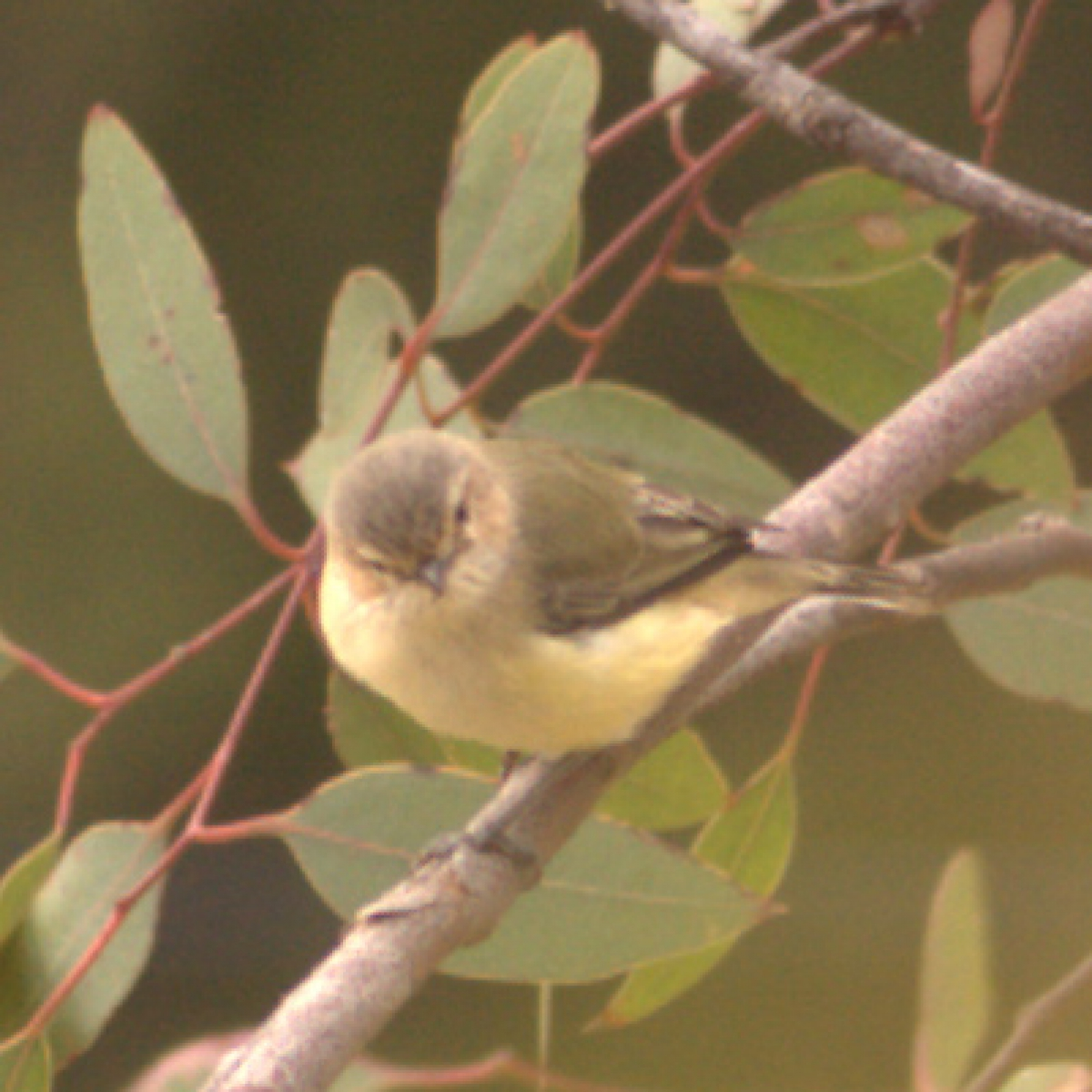 684 Yellow Thornbill