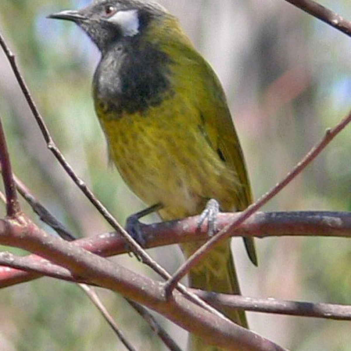 742 White-eared Honeyeater