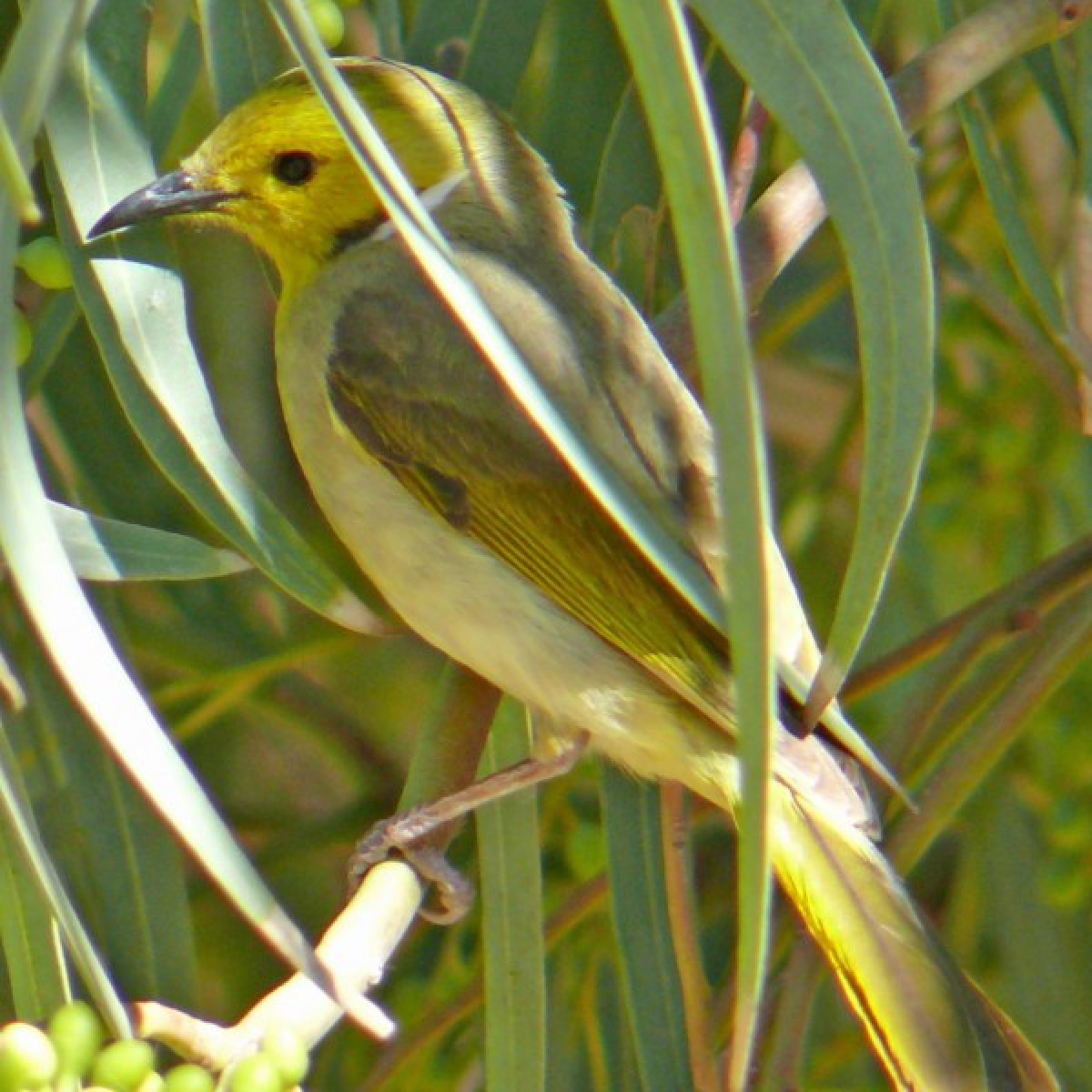 745 White-plumed Honeyeater