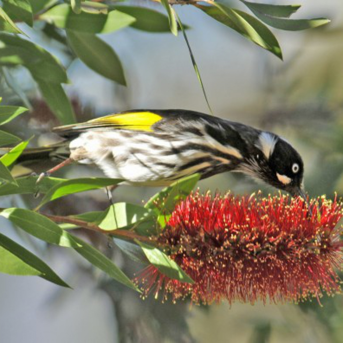 727 New Holland Honeyeater
