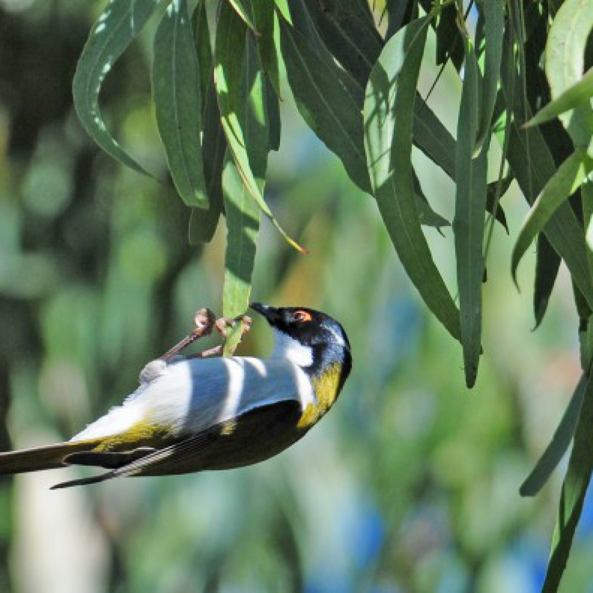 747 White-naped Honeyeater