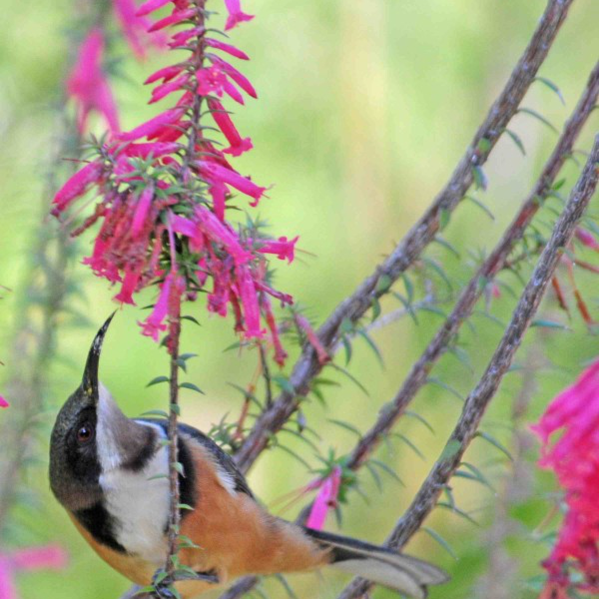728 Eastern Spinebill