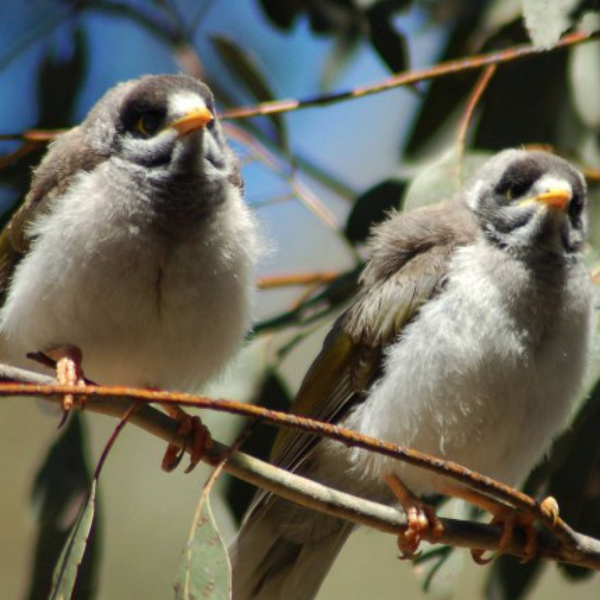 725 Noisy Miner chicks post-feed