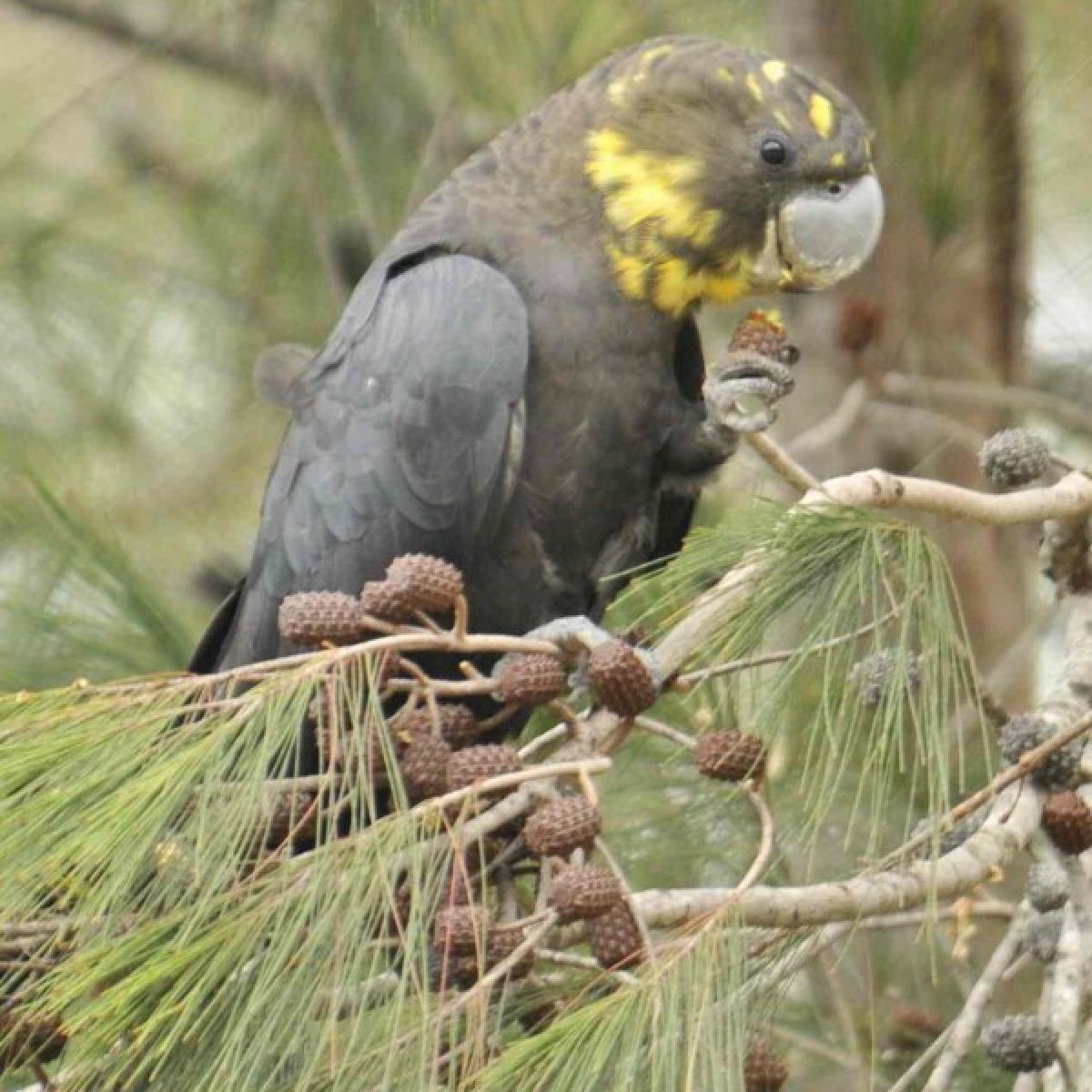 833 Glossy Black-Cockatoo (female)