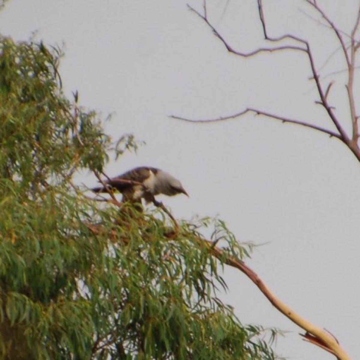 8610 Channel-billed Cuckoo