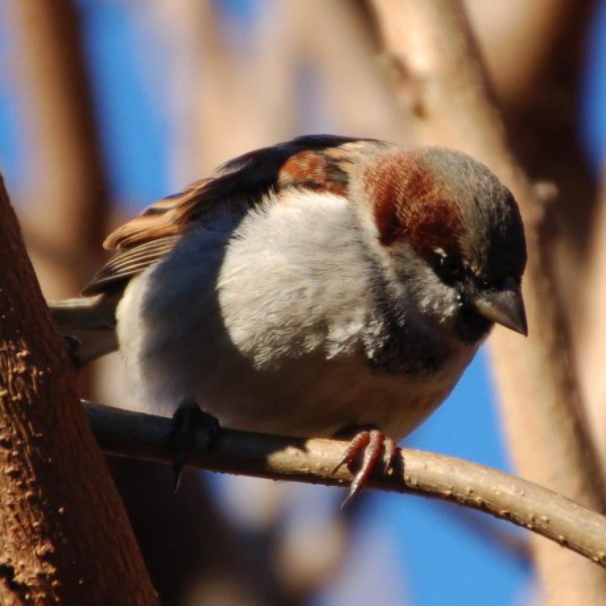 763 House Sparrow (male)