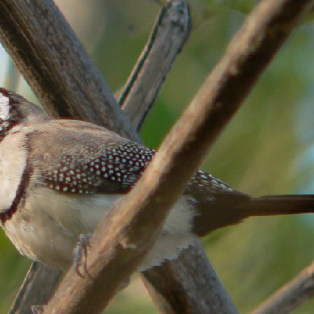 766 Double-barred Finch