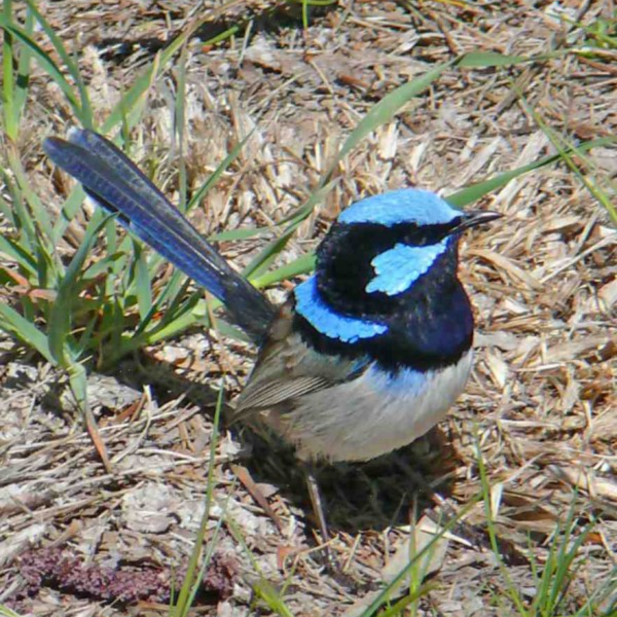 661 Superb Fairy-wren