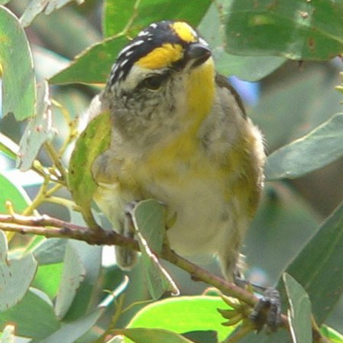 706 Striated Pardalote
