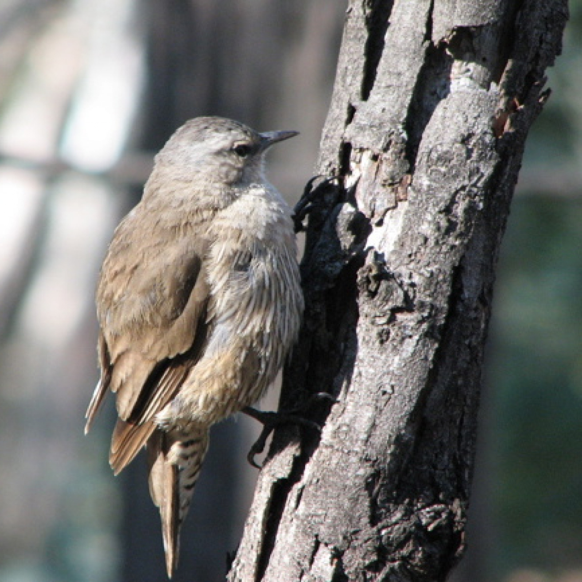 704 Brown Treecreeper