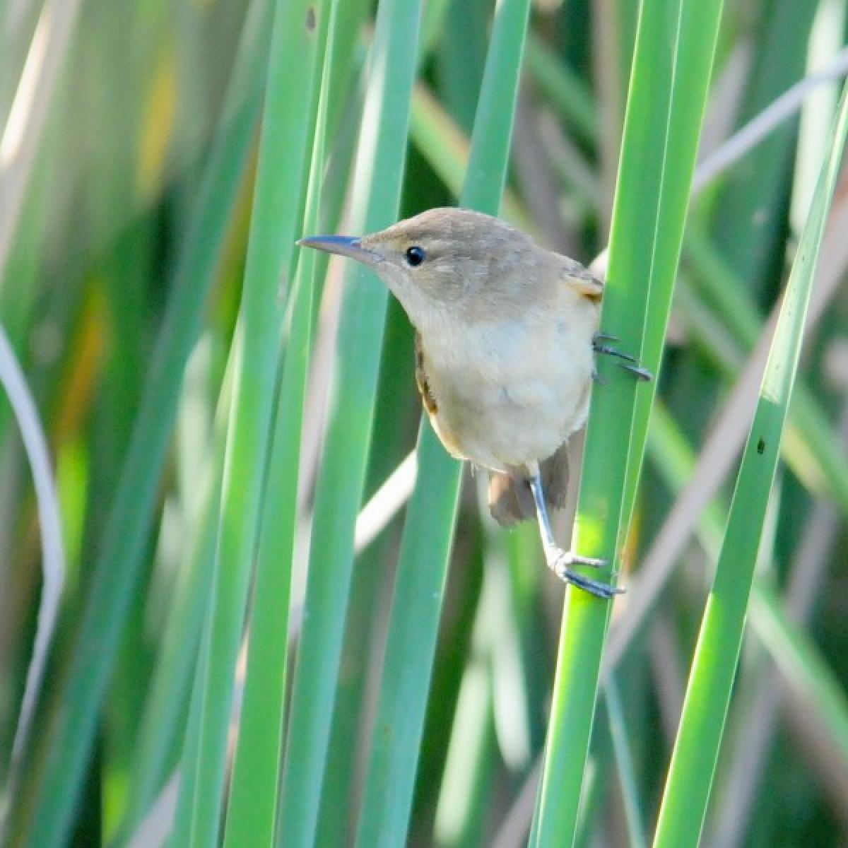 642 Australian Reed-Warbler