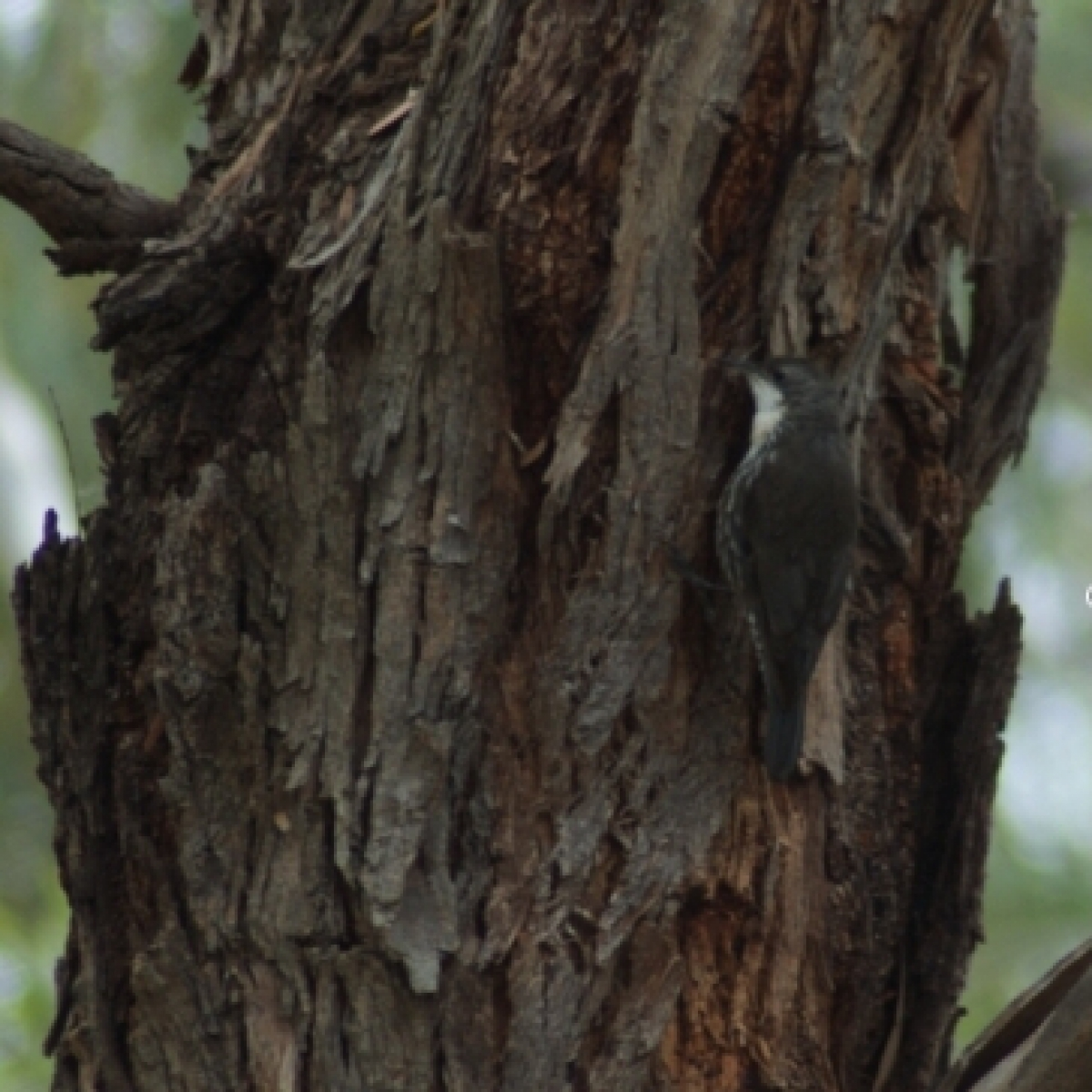 702 White-throated Treecreeper