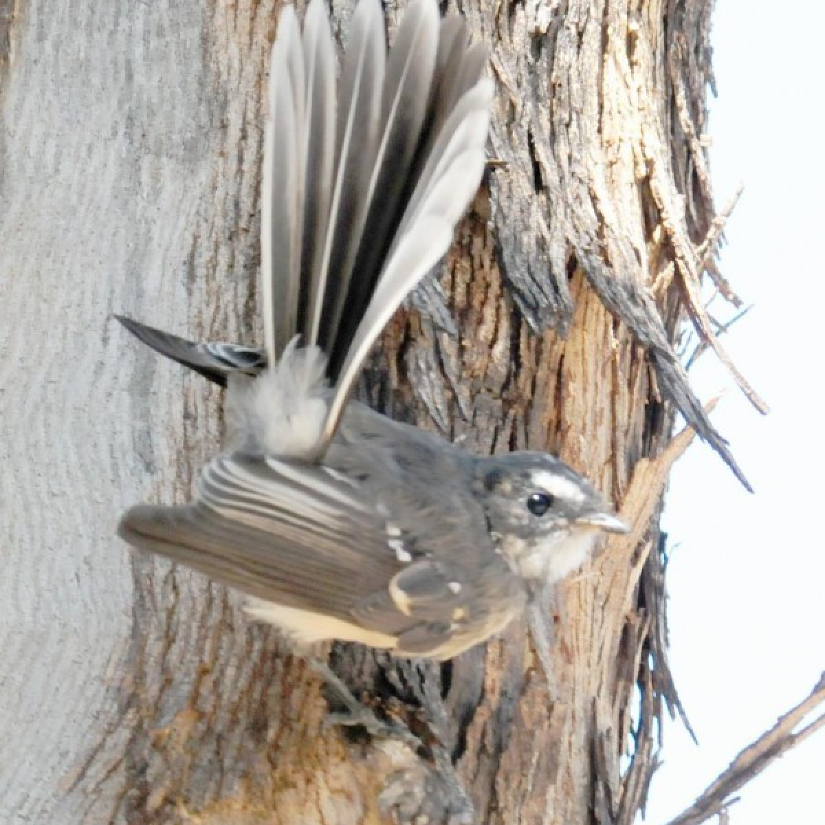 626 Grey Fantail