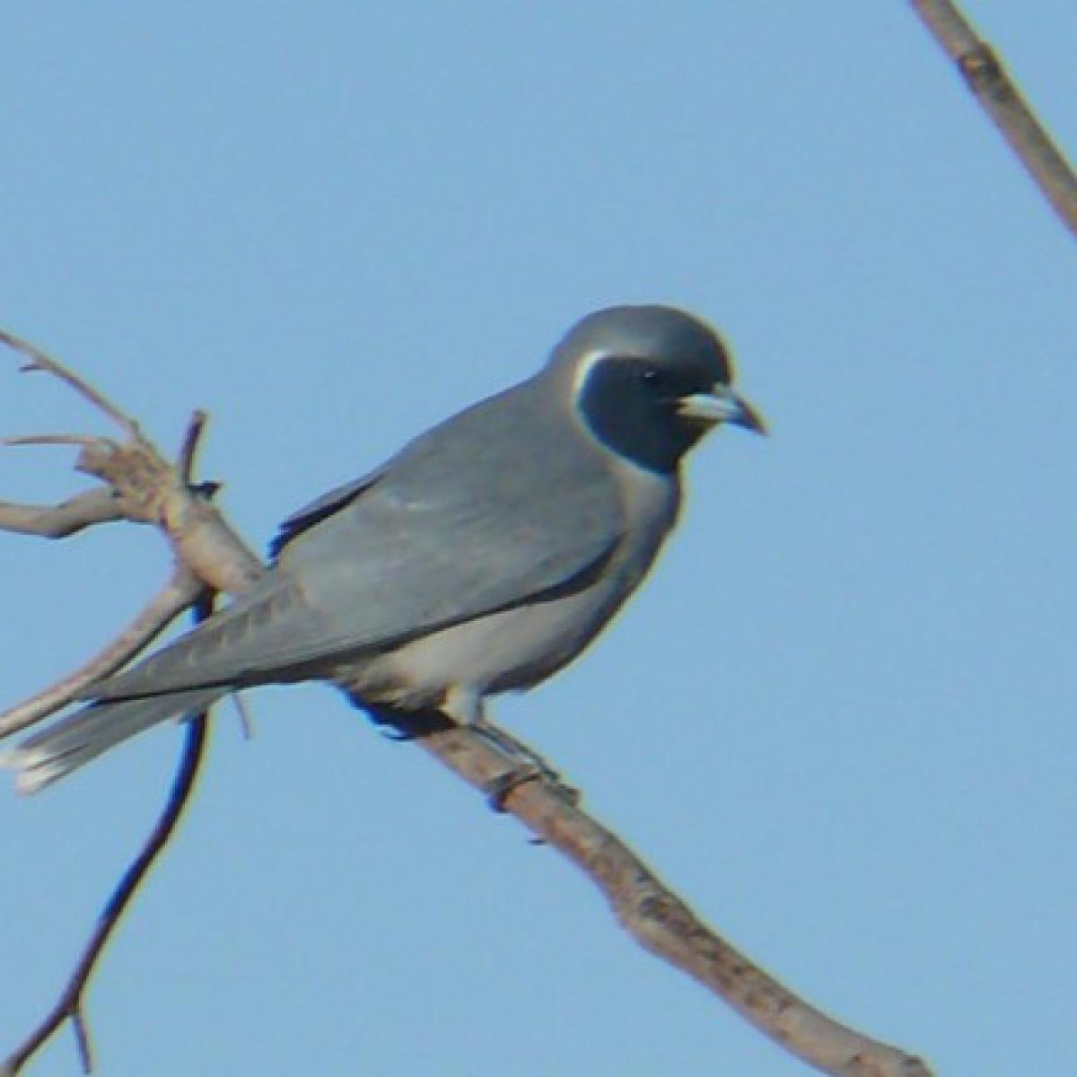 785 Masked Woodswallow