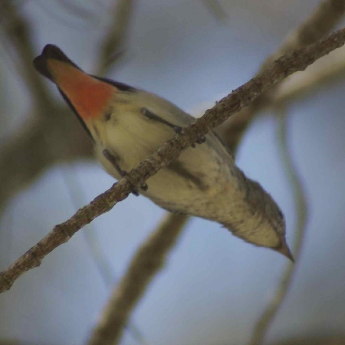 705 Mistletoebird (female)