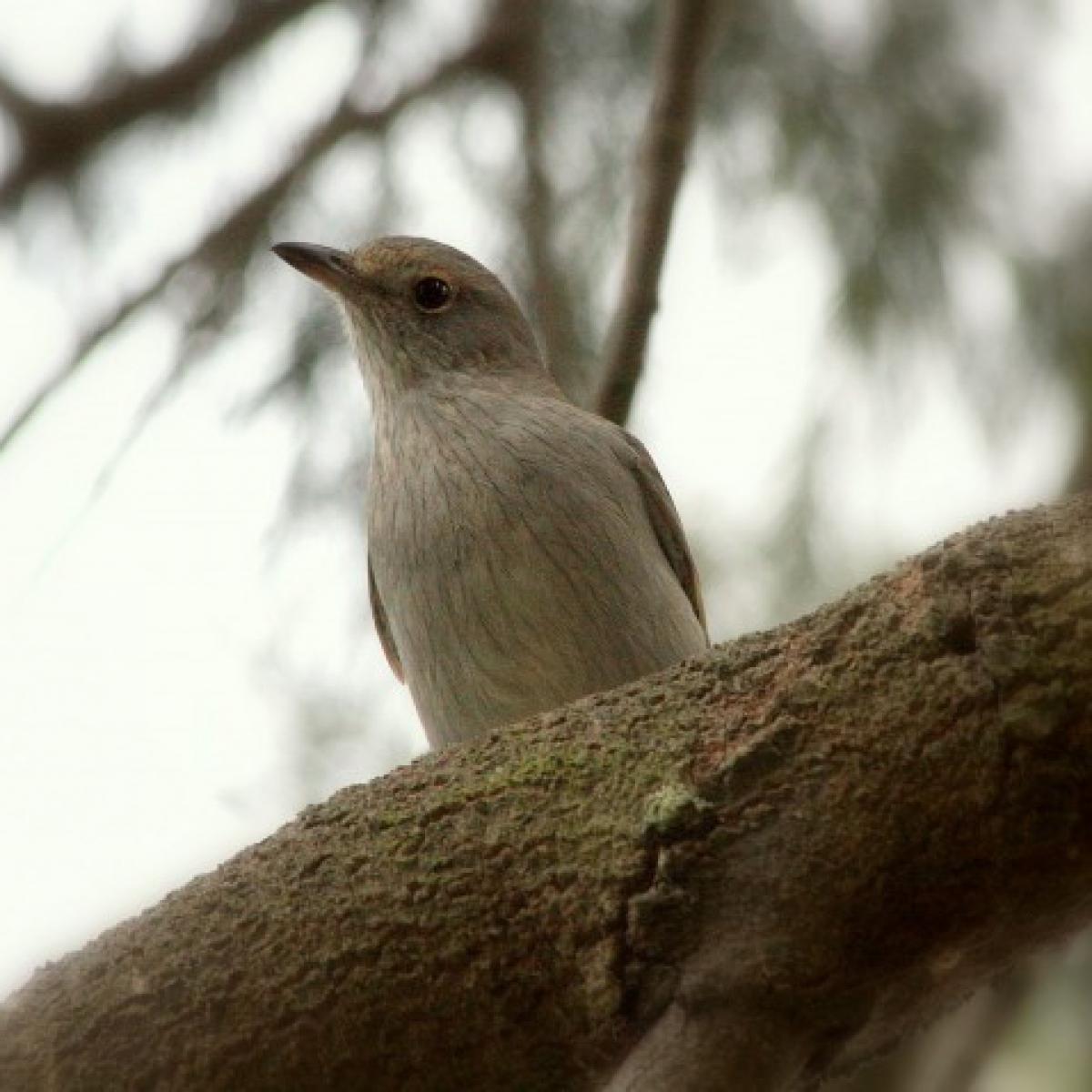 605 Grey Shrike-thrush chick