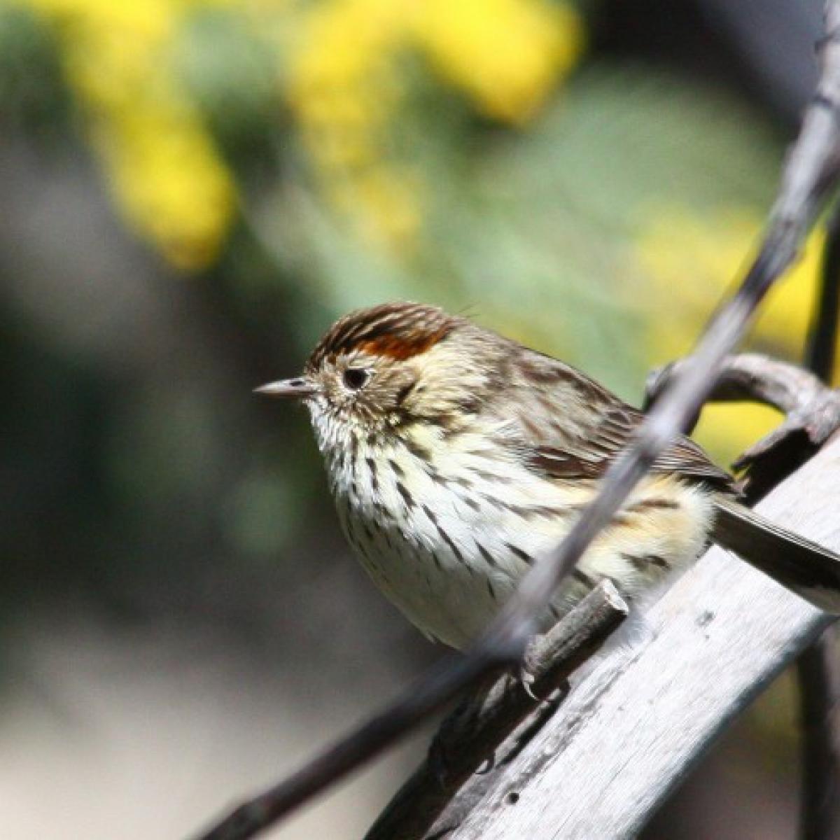 664 Speckled Warbler