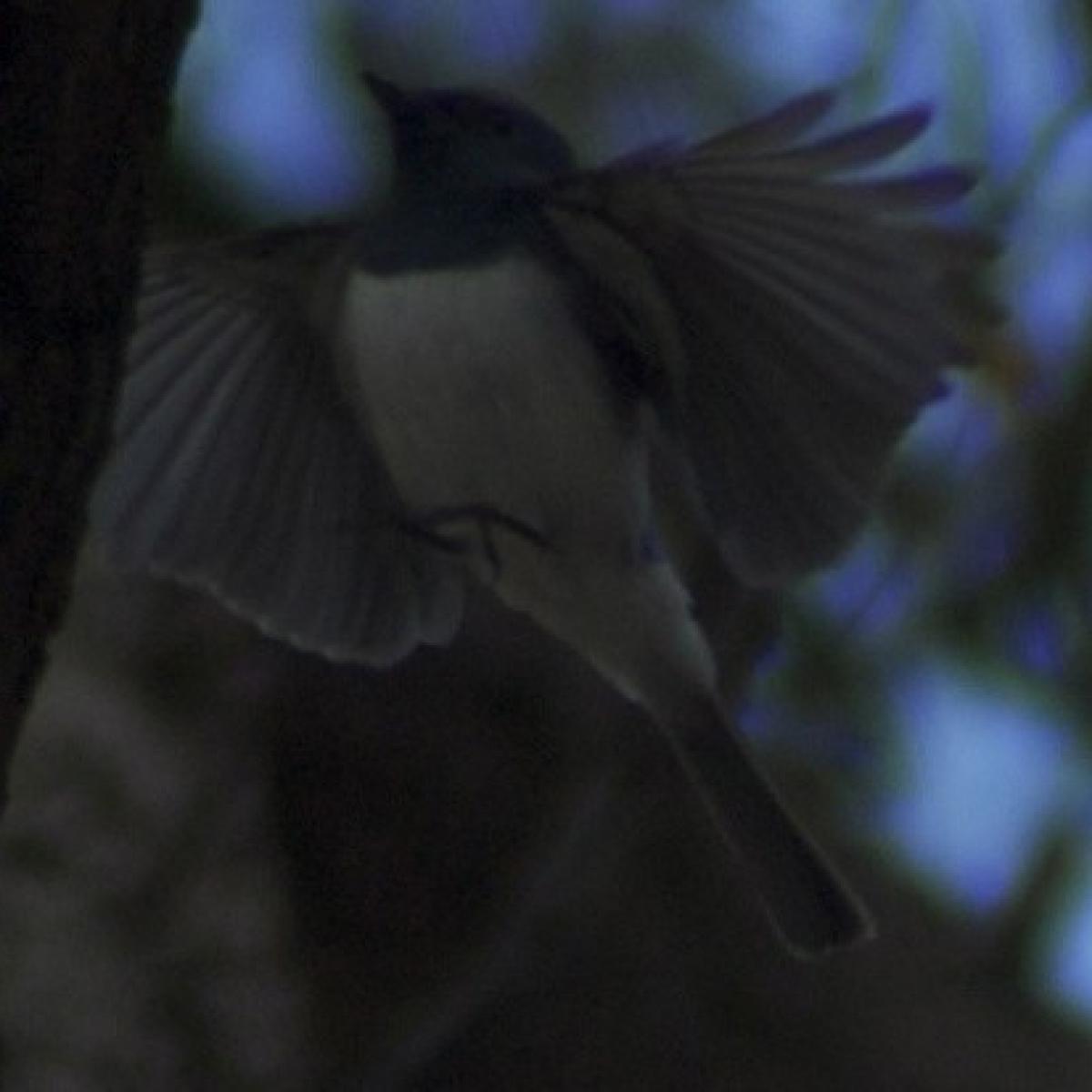 621 Leaden Flycatcher