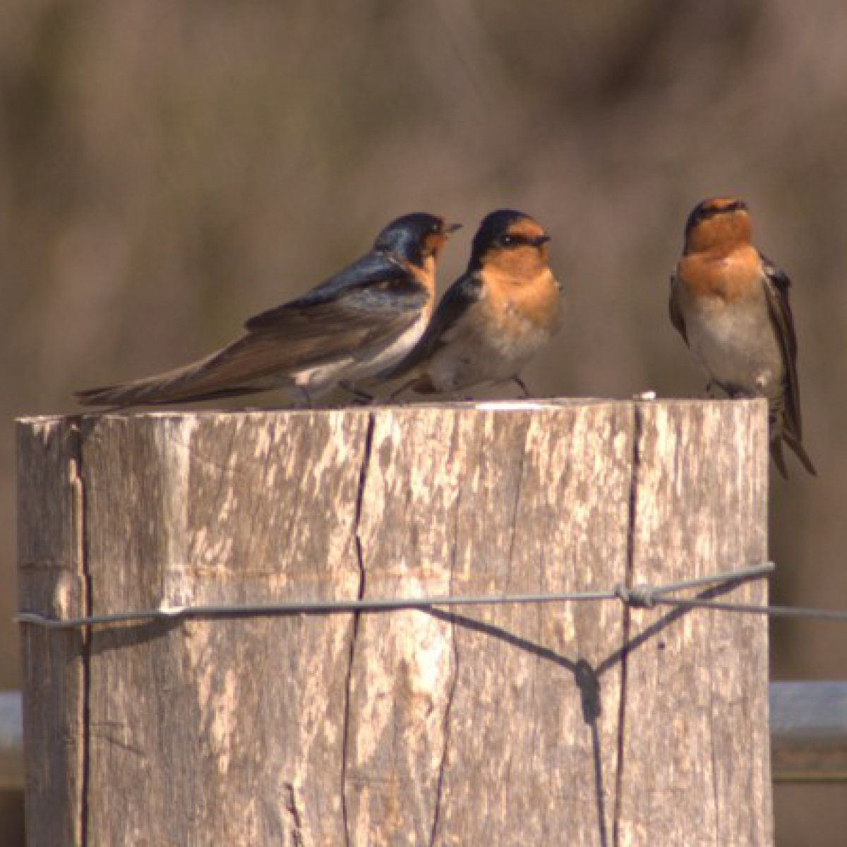 545 Welcome Swallow
