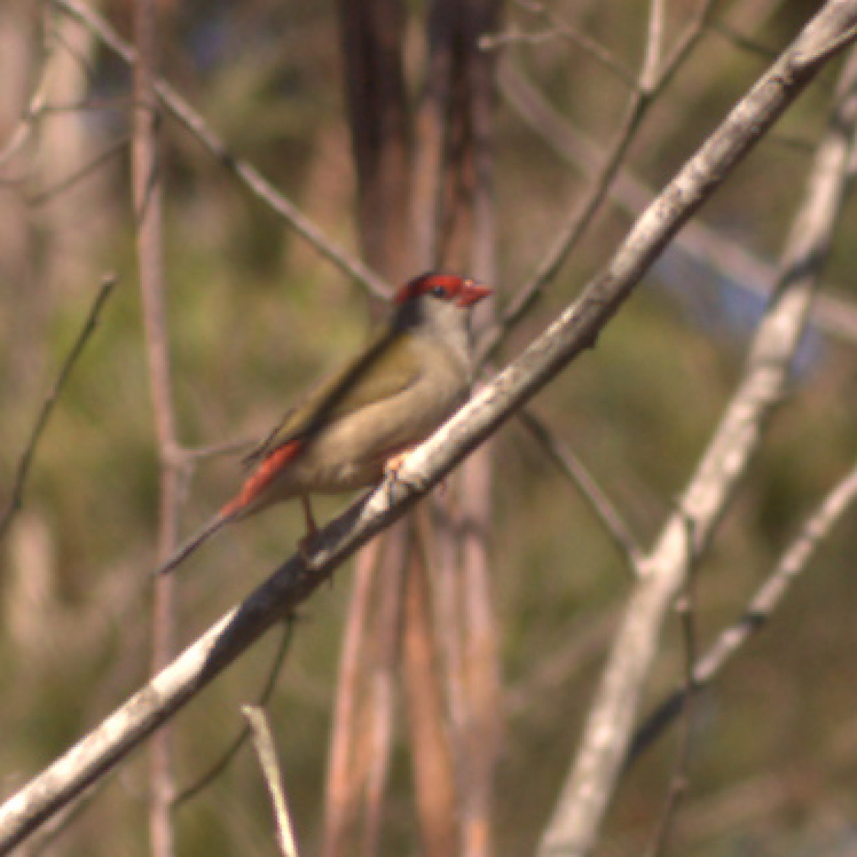 764 Red-browed Firetail