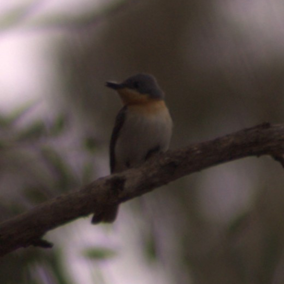 621 Leaden Flycatcher