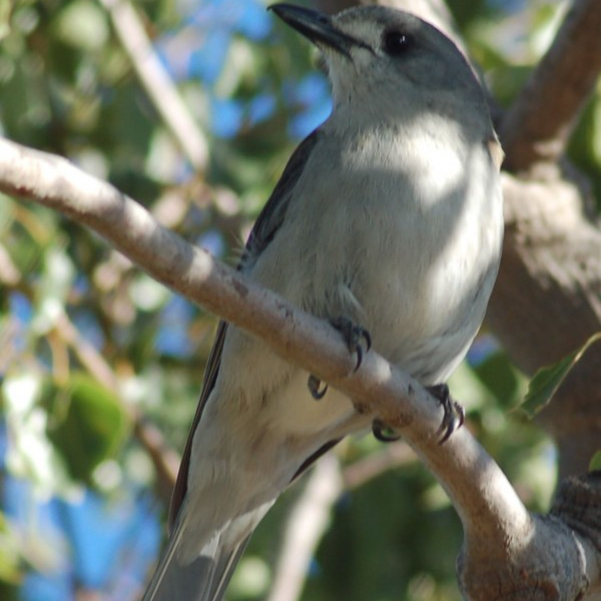 605 Grey Shrike-thrush