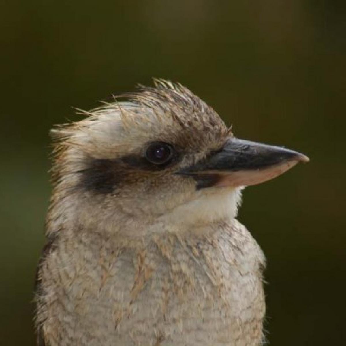 521 Laughing Kookaburra