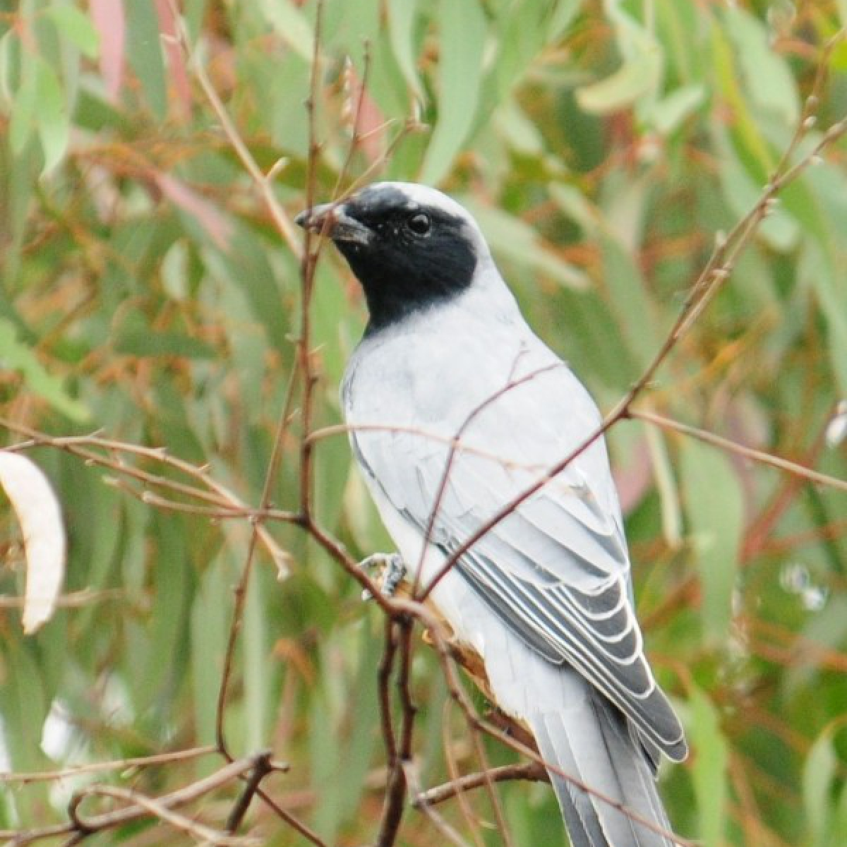 561 Black-faced Cuckoo-shrike