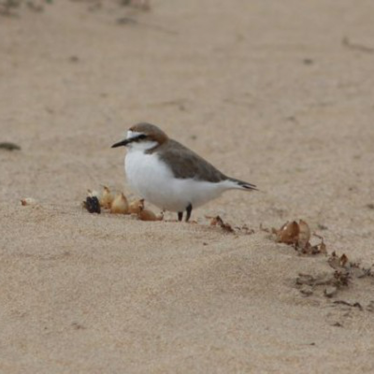 385 Red-capped Plover