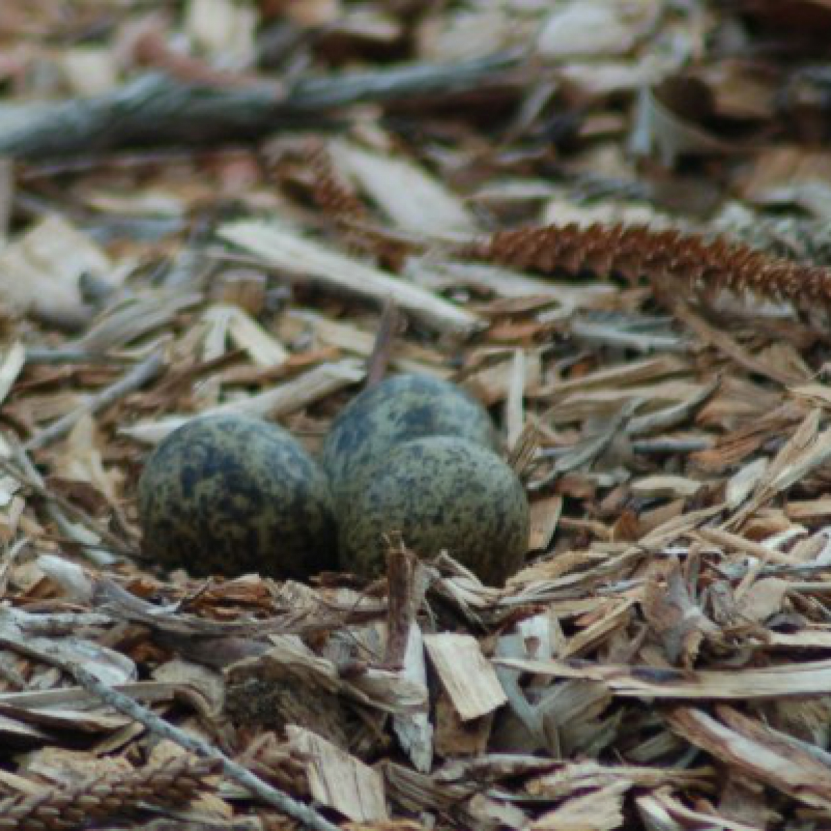 364 Masked Lapwing nest and eggs