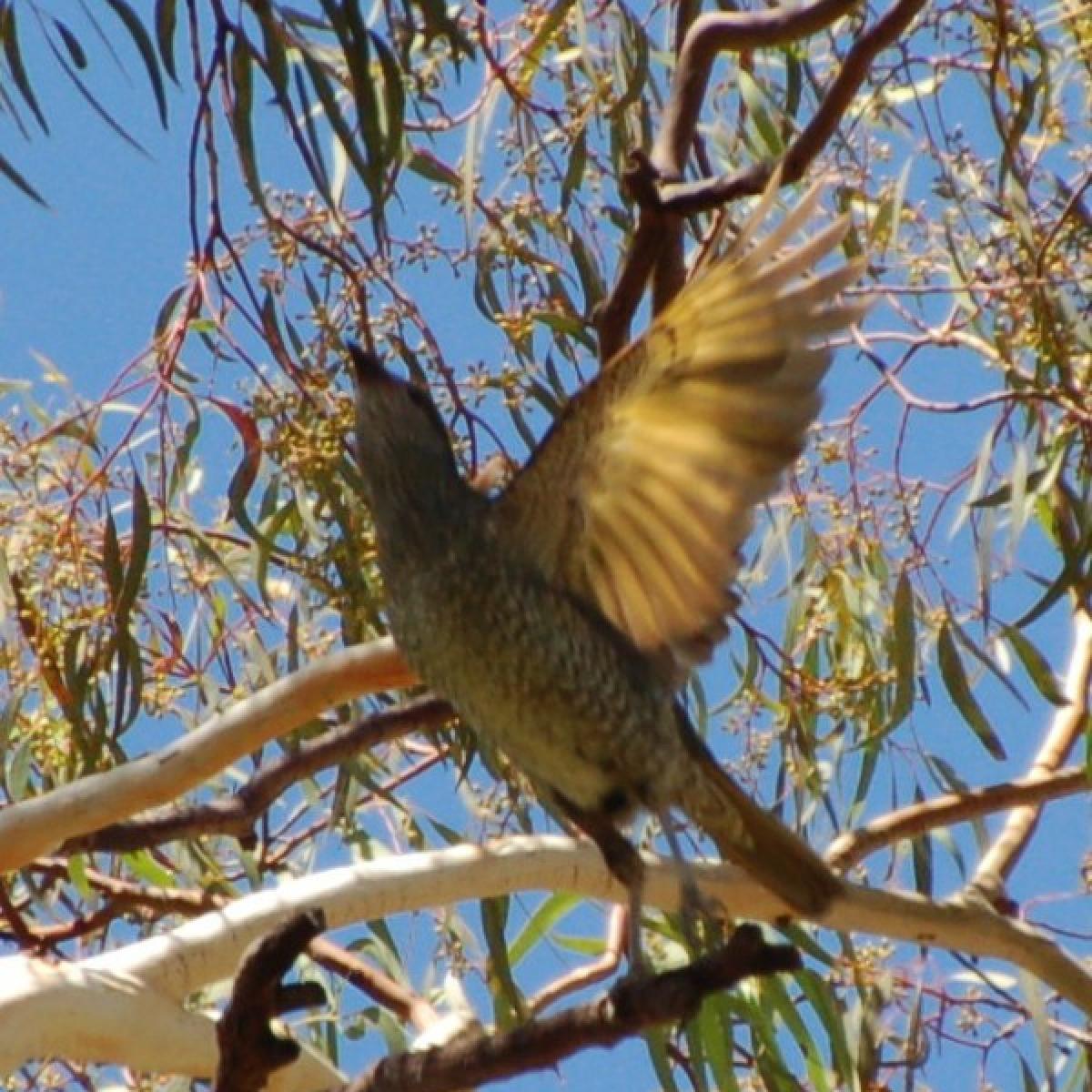 784 Satin Bowerbird (female)