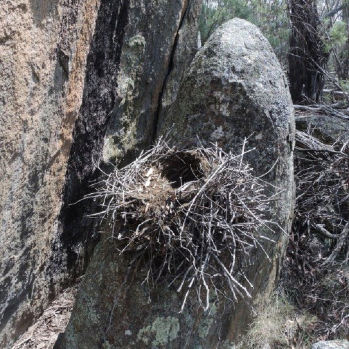 525 Superb Lyrebird - nest