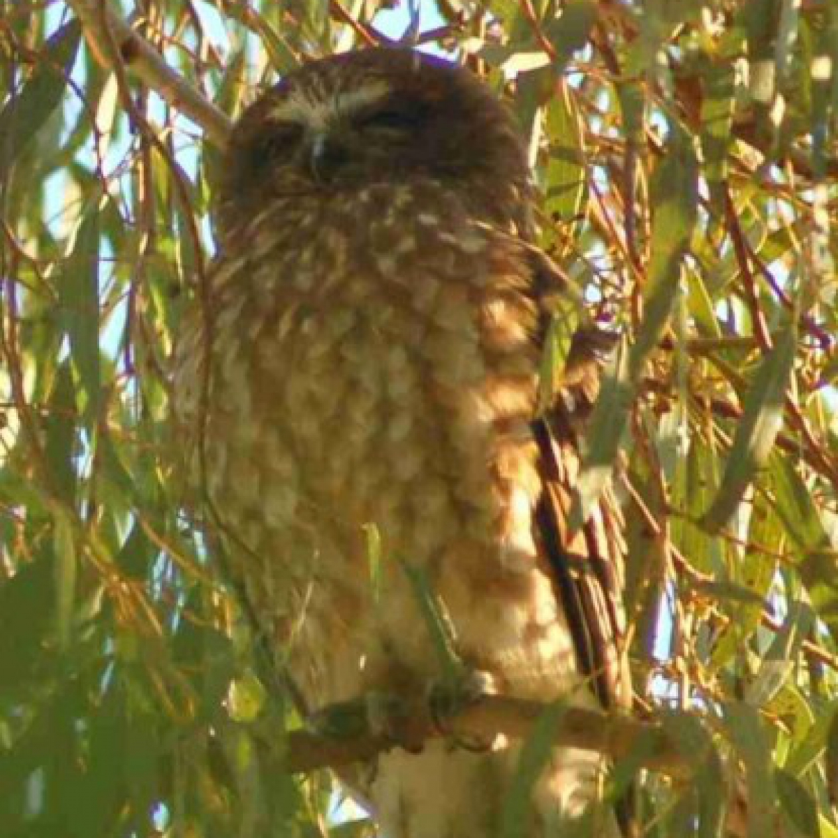 502 Southern Boobook Owl