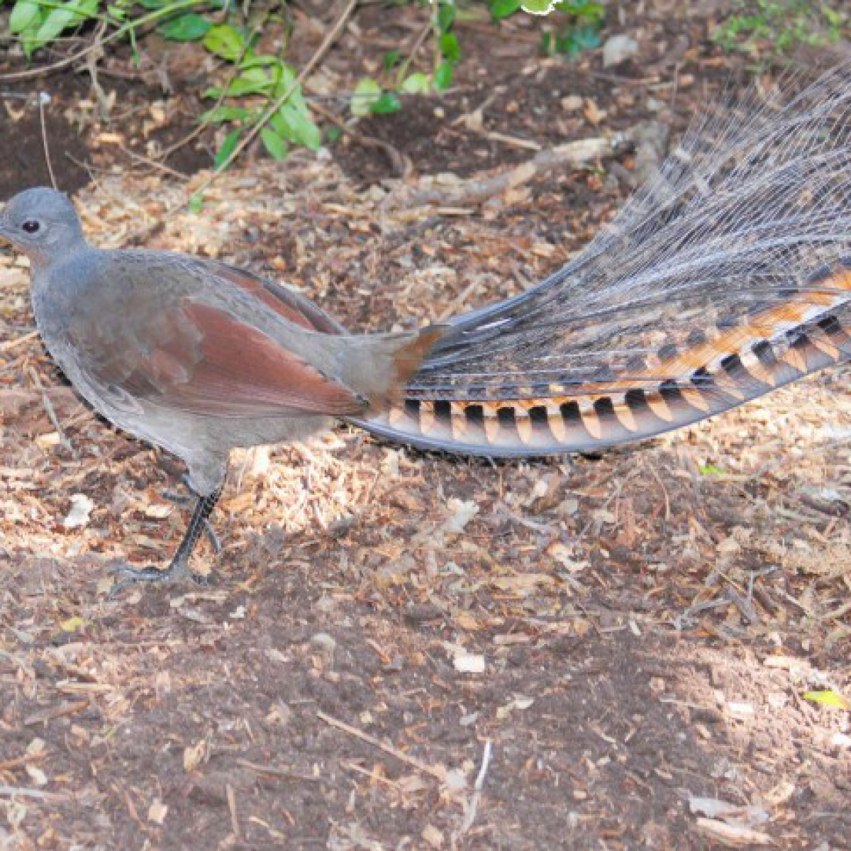 525 Superb Lyrebird