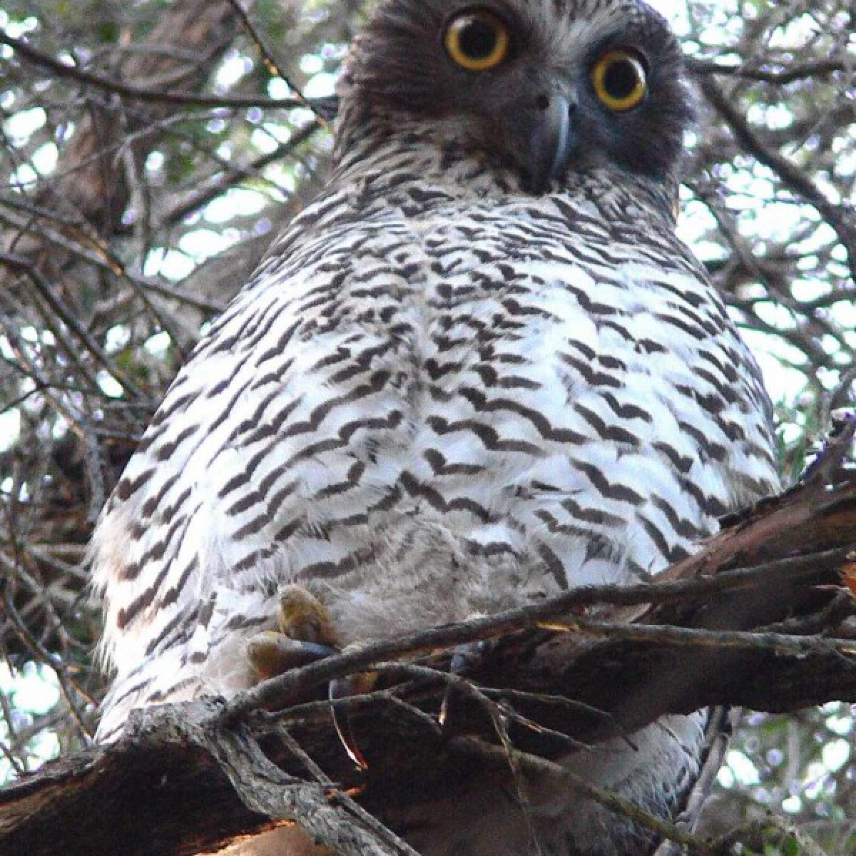 501 Powerful Owl